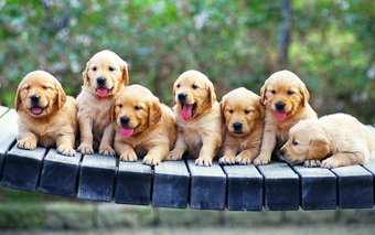 Large dog puppies line wallpaper hd 1336x835