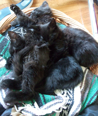 Photo of Black Fluffy Kitties!