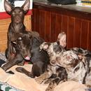 Photo of Koolie Pups Male & Female