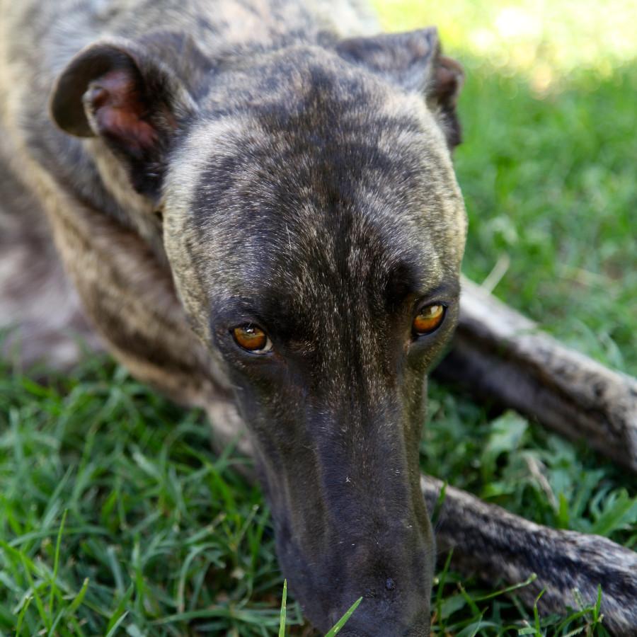 Greyhound Dogs Adoption Qld