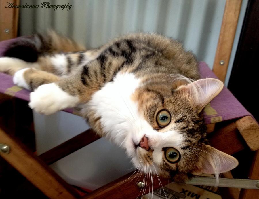 Beaufort Cat Adoption