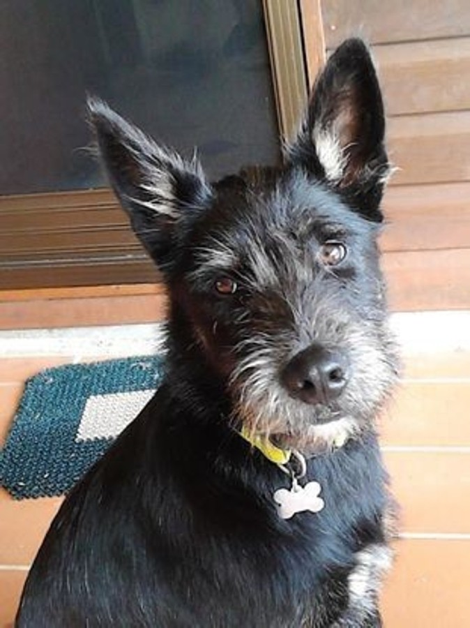 Izzy Large Female Irish Wolfhound X Kelpie Mix In Qld