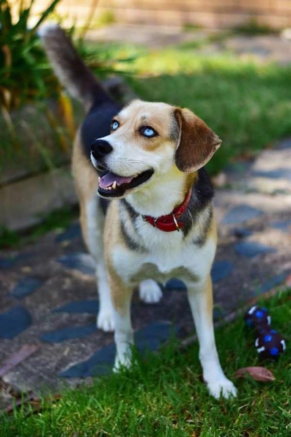 Diesel - Medium Male Beagle x Siberian Husky Mix in VIC ...