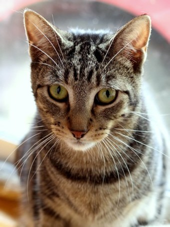 Photo for Hudson **2nd Chance Cat Rescue**