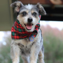 Photo of Cindy ~ 10yo Terrier X Cattle Girl