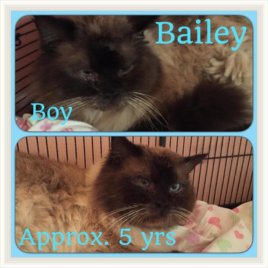 bailey male ragdoll in sa petrescue photo of bailey