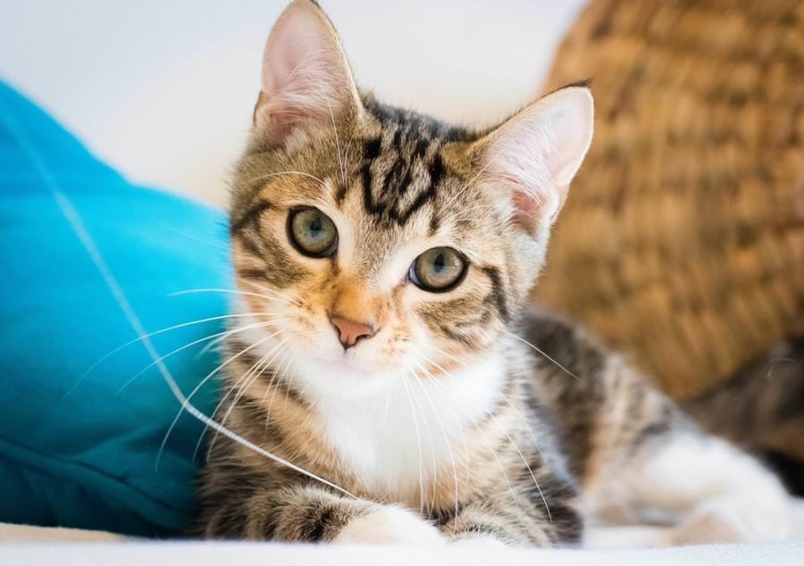 Maneki Neko Cat Rescue Contact
