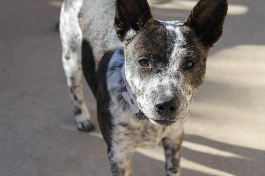Holly Medium Female Blue Heeler X Staffordshire Bull Terrier Mix In Nsw Petrescue