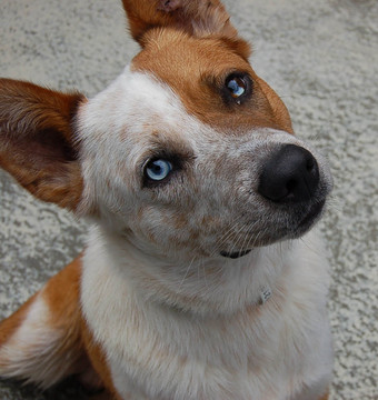 Cattle Dog Rescue Qld