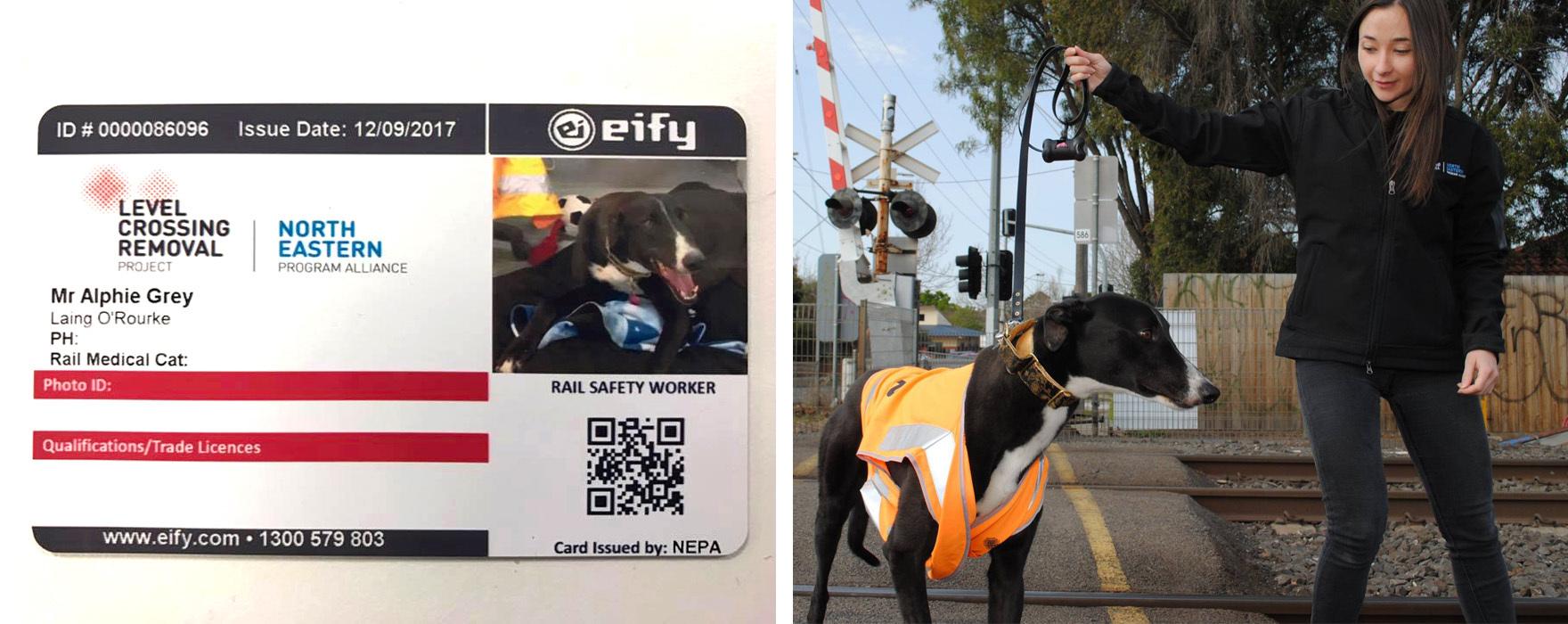 office dog melbourne greyhound