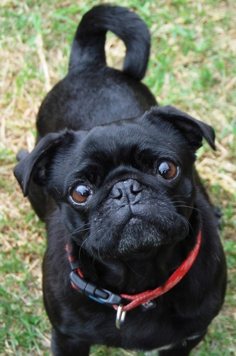 5 Years 300 Pugs Rehomed The Story Of Pug Rescue Adoption