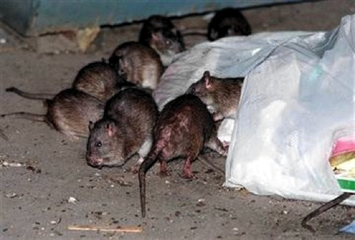 Rats in Christchurch