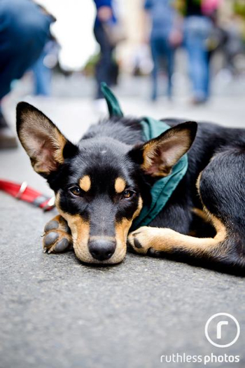 Kelpie pup at the PetRescue adoption event