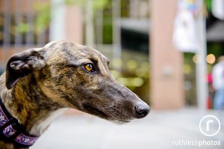 Dora the greyhound at PetRescue's adoption event