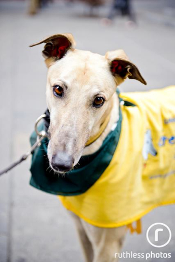 Buster the greyhound at PetRescue's adoption event