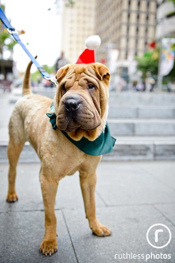 Buddy the Shar Pei at PetRescue's adoption event